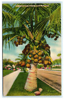 Postcard A Coconut Palm in Tropical Florida FL 1944 B35