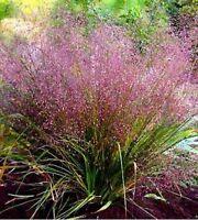 100 PURPLE LOVEGRASS Eragrostis Spectabilis Native Love Grass Flower Seeds +Gift