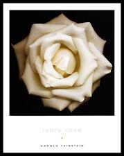 Harold Feinstein Ivory ROSE poster immagine stampa d'arte nel quadro in alluminio nero 36x28cm