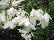 Two-wing Silverbell  Halesia diptera   10 Seeds   (Free Shipping)