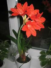 2PCs Bulbs Red Zephyranthes Candida Flower Natural Growth Bonsai Home Garden