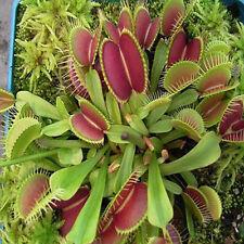 New Arrival Wholesale Venus Fly Trap Carnivorous Plant 50pcs/bag Seeds