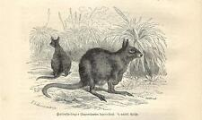 Stampa antica CANGURO WALLABY LEPRE ORIENTALE KANGAROO 1891 Old antique print