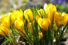 2 Bulbos Crocus amarillo flores de azafrán Hermoso (No semillas) plantas casa jardín