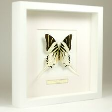 Real taxidermy butterfly mounted in white wooden frame - Graphium Androcles