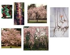 1 Sweet Cherry Tree, Fast Growing Edible Fruit - Plan for Fall