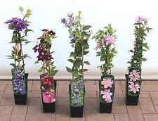 Clematis Kletterpflanzen Waldrebe, Duft Blüten, Bunt, bis 150cm, Bestseller