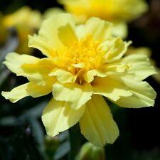 Marigold French - Vanilla Cream - 100 Seeds
