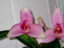 Lycaste Liberty skinneri Hybride NEW Orchidee Orchideen