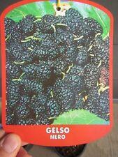 Morus nero - schwarzer Maulbeerbaum veredelt - Winterhart 150-180cm verzweigt