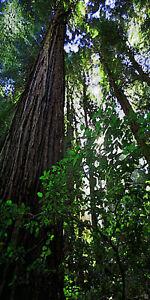 Impressionist Watercolor Redwoods II Fine Art Print Pine Forest