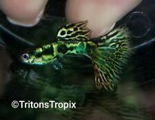 New listing *Triton'S Tropix* Show Quality Young Medusa Guppies Trio (1 M 2 F)