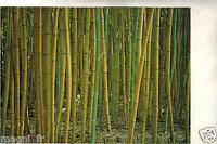 30 - Cpsm - Anduze - Bambuseraie von Prafrance - Bambus Gelb (I 5279)