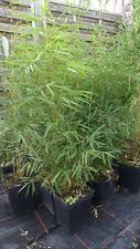 Bambus fargesia robusta Campbell  C5  ca. 120cm  Hecke