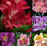 100 Pcs Alstroemeria Lily Seeds Mix Peruvian Lily Seeds Flower Garden Decoration