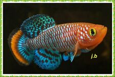 30 Eggs Nothobranchius Rachovii (Killifish)