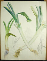 Drawing Sketching of Leeks Still Life Alive Watercolour Draw c1950 65 CM
