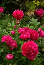 KARL ROSENFIELD RED PEONY - Large Bare Root Tuber - HARDY PERENNIAL PLANT