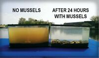 8+ Live *FRESHWATER MUSSELS* - Natural Fish Waste Removal For Koi Pond-Aquarium