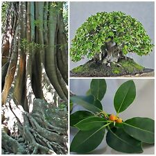 50 seeds of Ficus obliqua, bonsai seeds  C