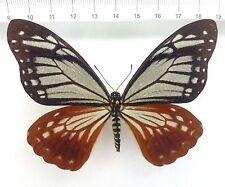 Chilasa (Papilio) agestor ssp.agestor WEIBCHEN!!!!  ex Malaysia  n154