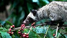 King of Coffee Wild Kopi Luwak Coffee Beans 100g