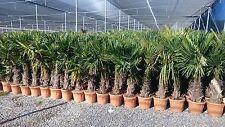 Hanfpalme STAMM 30-40 CM      Trachycarpus  winterharte Palme frosthart  -17°C