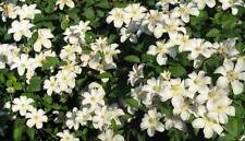 Clematis Huldine masses of white flowers from July to October 1 litre pot