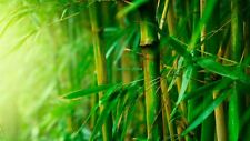 110 Graines  (09/2017) Phyllostachys Pubescens Giant Moso Bamboo bulk Seeds