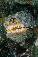 634089 oyster îles Caroline Palau A4 papier photo