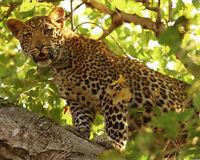 Nature LEOPARD Glossy 8x10 Photo Animal Print Wall Art Poster Big Cat Jaguar