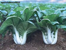 BABY BOK CHOY / EXTRA DWARF PAK CHOI  200+ Vegetable Seeds Matures in 30 DAYS!!!