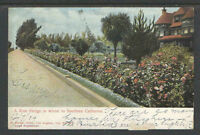 1904 A ROSE HEDGE IN WINTER IN SOUTHERN CALIFORNIA UDB UNDIVIDED BACK POSTCARD
