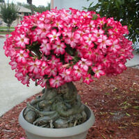 5PCS Rare Pink Adenium Obesum Desert Rose Flower Seeds Garden Bonsai Tree Plant