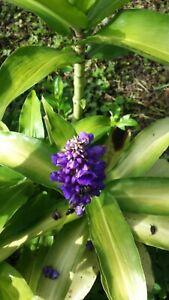Lot of 4 Blue Ginger Dichorisandra Thyrsiflora Tropical Cuttings FROM HAWAII