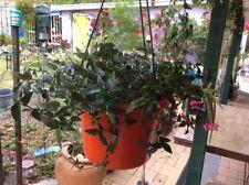 Gibasis geniculata ~ Tahitian bridal veil~Hanging Plant~Starter ~ 5 cuttings