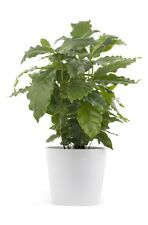 COFFEE - 2 live PLANTS - Houseplant/ Office - GroCo Plant USA