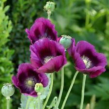 500 + POPPY FLOWER Hungarian bread seed, tall purple/ Persian blue garden seeds