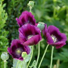 POPPY FLOWER Hungarian bread seed, tall purple/ Persian blue garden seeds 1,000+
