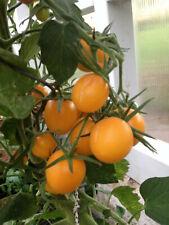 Dattelwein Datteltomate alte deutsche Sorte gelbe Tomate Massenträger frühreif