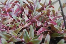 Cyanotis Obtusa – Purple & Green Easy Care Wandering Jew Tradescantia Companion