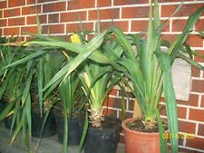 Yucca gloriosa, winterhart, stammbildende Palme, recurvifolia, 50 bis 60 cm