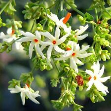 Greenly Jasmine Flower Seeds - 20 Seeds