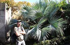 5 Sabal Palmen / Bepflanzung für den Bachlauf & Teichrand Teichrandbepflanzung