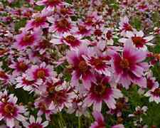50+ Coreopsis Flower Seeds / American Dream / Reseeding Annual