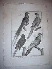 GRAVURE 1791 OISEAUX PERRUCHE LORI