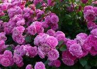 Beautiful Purple Climbing Rose Seeds 80 Seeds --BUY 4 ITEMS FREE SHIPPING