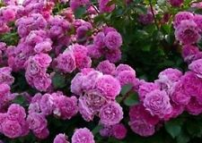 Beautiful Purple Climbing Rose Seeds 80 Seeds --BUY 4 ITEMS FREE SHIPPING