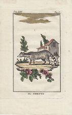 Antique engraving ~ Il Zibetto - Civet cat