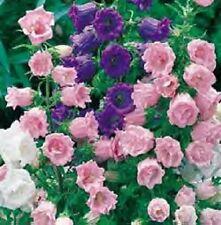 50+ Campanula Canterbury Single Bells Mix Flower Seeds / Perennial